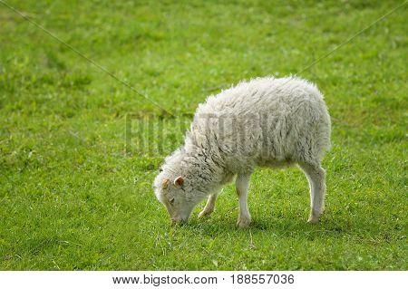 Cute Baby Sheep at summer greenfield , lamb pasturing at green grass