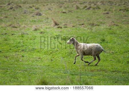 Sheep running fast on green grass of spring meadow.