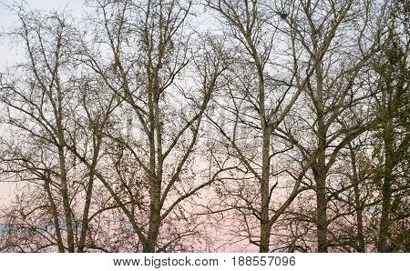 Poplar trees without leaves autumn at sunset background.