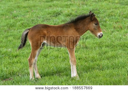 Young cute foal outdoor pasturing on green grass, full length portrait.