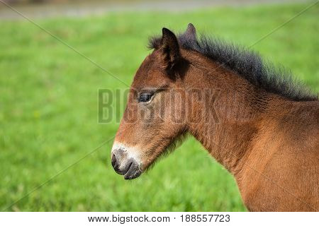 Adorable Cute little foal on green meadow, close-up shoot.