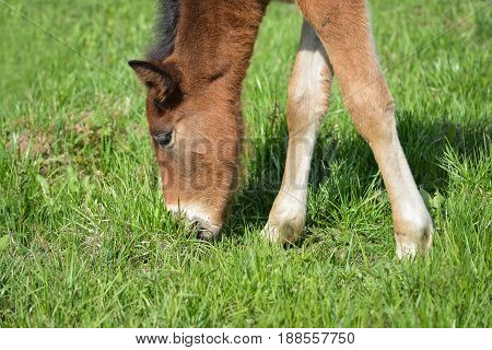 Adorable Cute little foal pasturing on green meadow, close-up shoot.