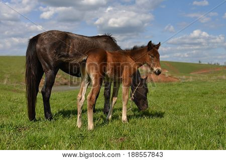 Cheerful young foal with its mother pasturing on the meadow.