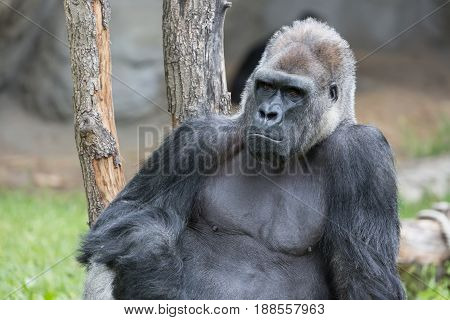 Male strong gorilla sitting on the ground at the zoo.