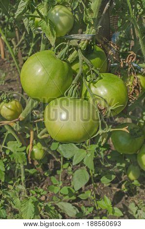 Green Tomatoes On Tomato Tree