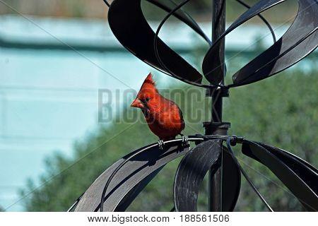 Male northern cardinal standing on a garden wind catcher