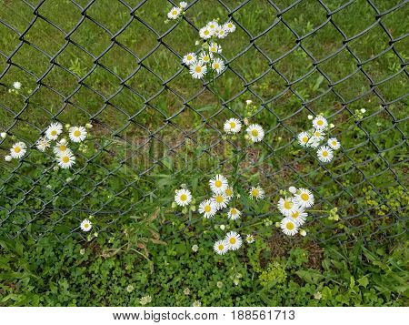 yellow and white wild flower weeds and metal chain link fence