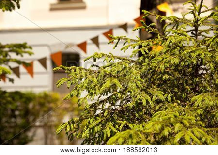 Fir tree branches in a park decorated with flags. Festive green conifer trees in a summer city background