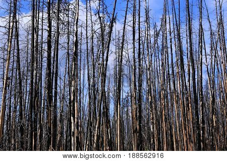 burned firs, a death forest in the north