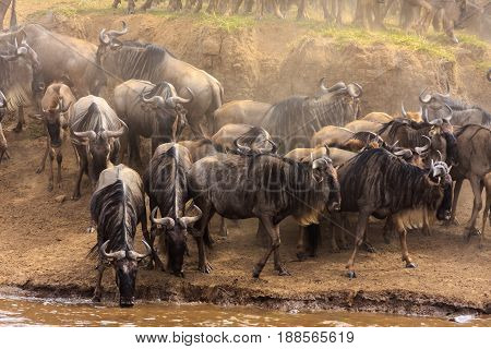 Herds of herbivores on the banks of the Mara River.