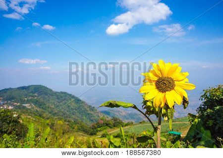 Beautiful Sunflower On Nature Background. Blue Sky Above Mountain Peak. .