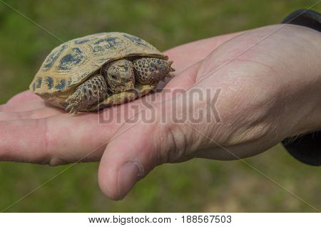 Turtle On The Palm. Little Steppe Tortoise In Spring, Almaty, Kazakhstan