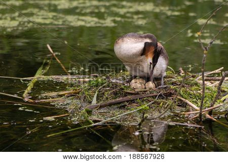 Great crested grebe (Podiceps cristatus) turning eggs. Elegant waterbird in the family Podicipedidae nesting on lake at Cardiff Bay Wales UK