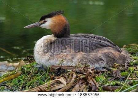Great crested grebe (Podiceps cristatus) on nest in profile. Elegant waterbird in the family Podicipedidae nesting on lake at Cardiff Bay Wales UK