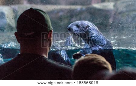 Otter Stares At A Man And His Son At The Aquarium Of The Pacific