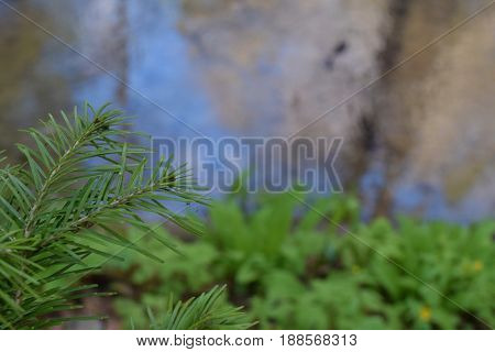 Green larch branch in Siberian taiga forest in summer. Blur background.