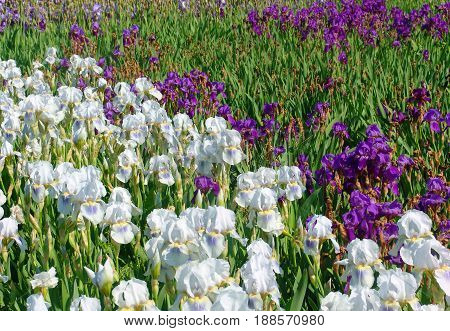 Beautiful white and purple iris flowers in the garden. Selective focus