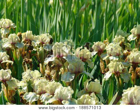 Beautiful white iris flowers in the garden. Selective focus