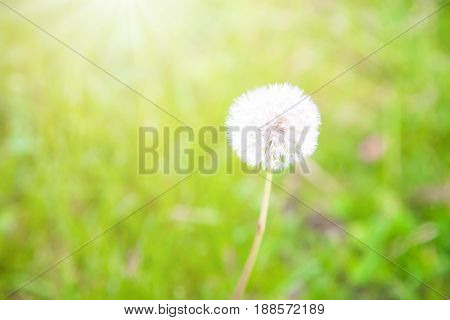 Fluffy dandelion flower with sunlight in summer.