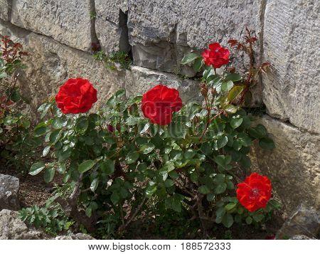 Vibrant Red Blooming Roses at the Wall of La Citadelle de Dinant, Wallonia Region, Belgium