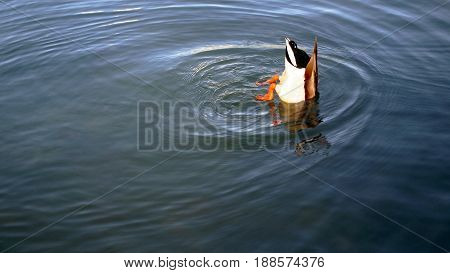 Duck submerged in water with head hidden and legs in the air