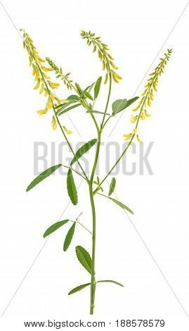Yellow Melilot Plant