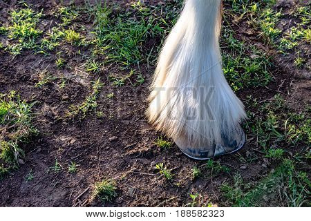 Close up of a draft horse's hoof