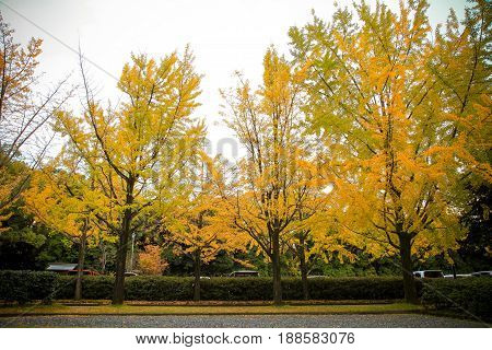 The colorful yellow ginko leaves branch tree. Golden leaves of gingko trees