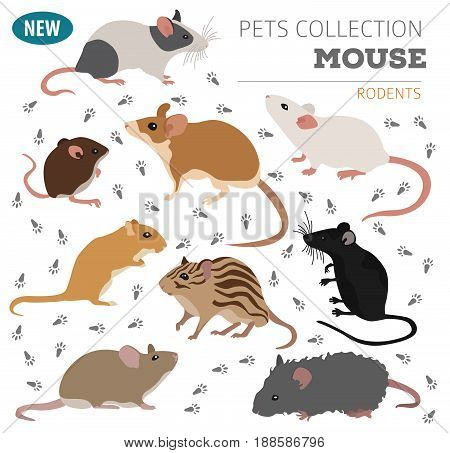 Pets_rodents_rat_4