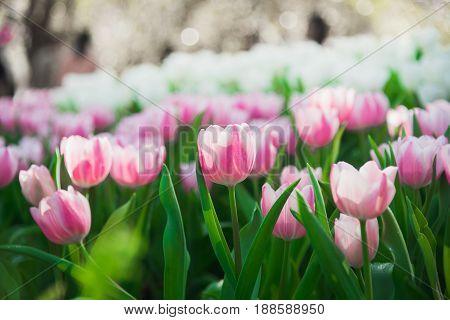 tulips in spring sun in the garden