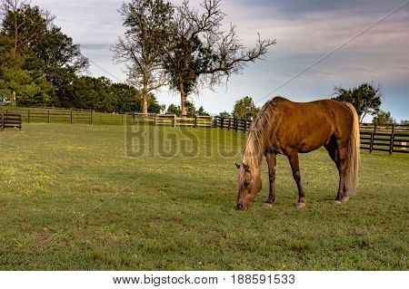 Brown horse grazing in a pasture in the Kentucky Bluegrass Region.