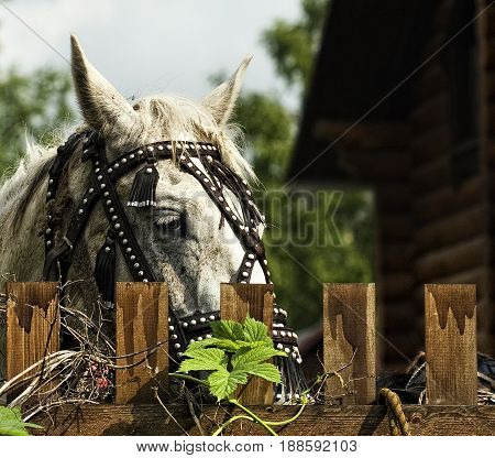 The horse is behind the fence harnessed and ready for skiing Gorny Altai Russia.