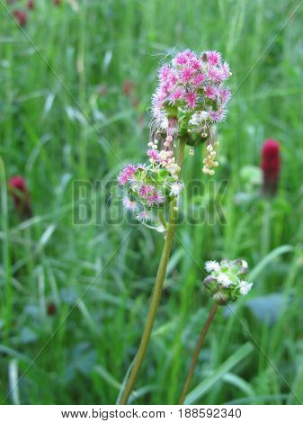 Small burnet with flowers in meadow, Sanguisorba minor