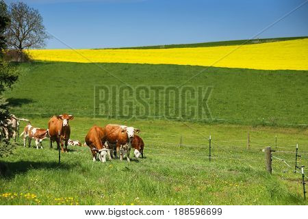 Cows grazing on a green meadow of Bavaria with yellow rapeseed field in the background.
