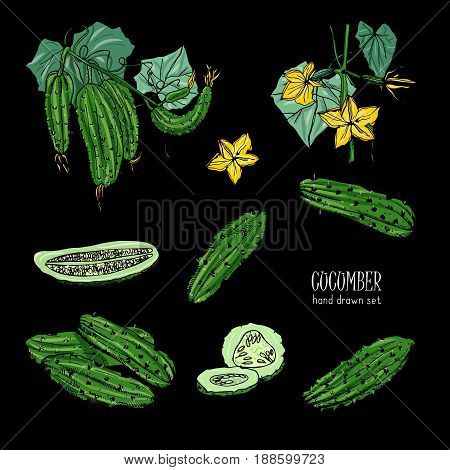 Set of different cucumber, on branch, flowering. Cuke slices, cut along, top view, from side. Colorful vector hand drawn illustration on black background
