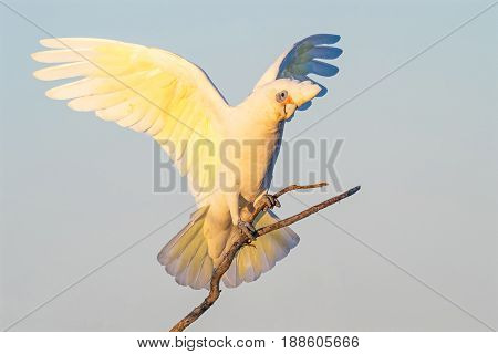 A Little Corella perched on a branch with wings outstretched at Herdsman Lake in Perth, Western Australia.