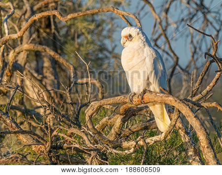 A Little Corella perched on a branch at Herdsman Lake in Perth, Western Australia.