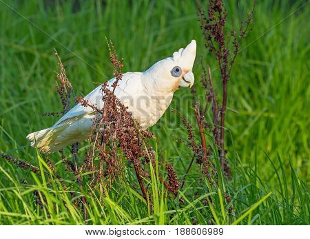A Little Corella feeding on seeds at Herdsman Lake in Perth, Western Australia.