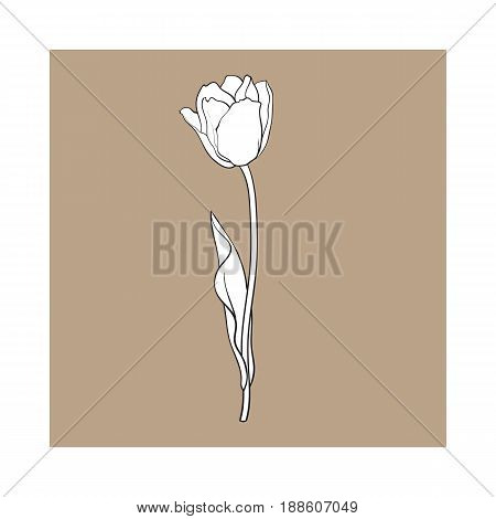 Hand drawn of side view black and white open tulip flower, sketch style vector illustration isolated on brown background. hand drawing of tulip flower, decoration element