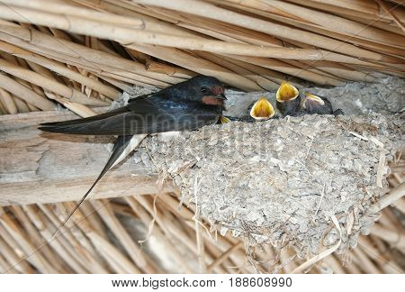 Swallow feeds the chicks in the nest