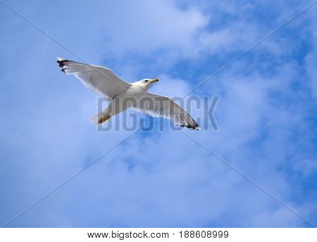 Seagull soaring fly in the blue sky