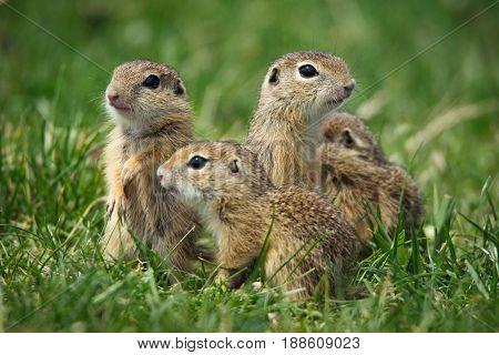 European Ground Squirrel in the natural habitat