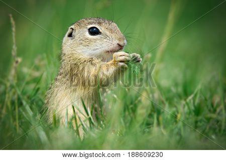 European ground squirrel is eating green grass