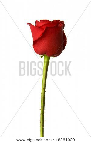 Single red rose on white