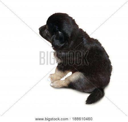 Little black puppy of a mongrel sits sideways