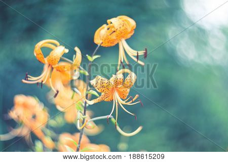 Tiger lilies in garden. Lilium lancifolium syn. L. tigrinum is one of several species of orange lily flower to which the common name Tiger Lily is applied. Can be used as a  background.