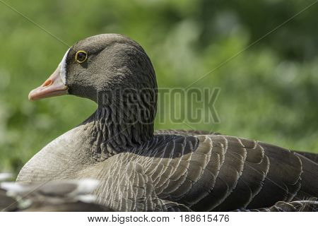 White-fronted goose (Anser erythropus) in close up against plain blurred green background. Brown waterfowl with distinct yellow-rimmed eye.