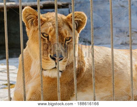 Lioness in captivity in a zoo behind bars. Power and aggression in the cage.