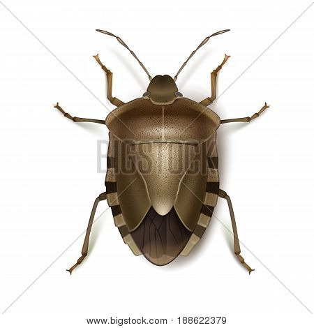 Vector Brown Marmorated Stink bug close up top view isolated on white background