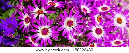 Magenta bicolour , purple flowers bouquet for spring background.